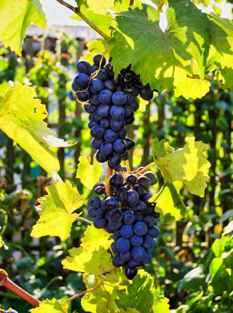 suedmoldau_grapes-3611196